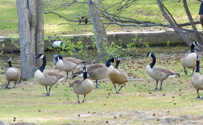PTC calls foul on folks feeding fowl
