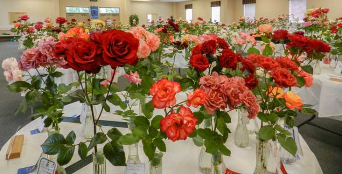 Rose show returns this month