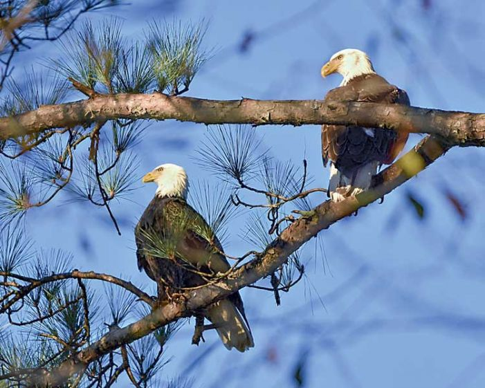 Bald eagle pair build lake house