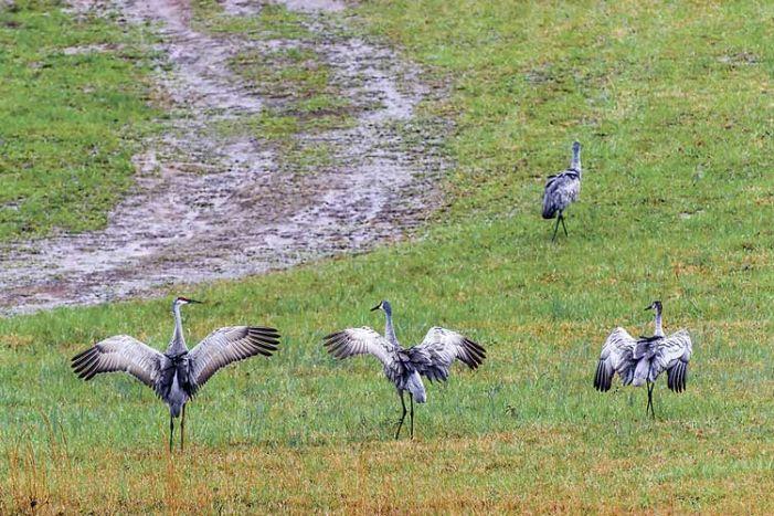 Visiting cranes delight birdwatchers
