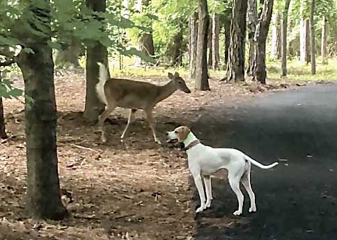 Attack of the Peachtree City deer without fear
