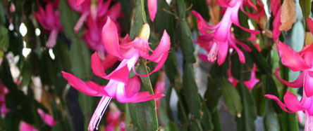 Holiday house plants covered Dec. 5